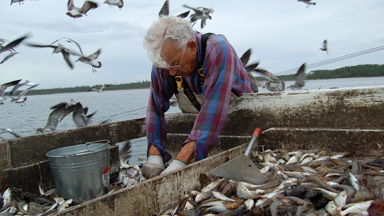 A fisherman cleans fish from a large tub while pelicans fly around him